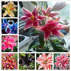 100pcs hosta seeds Coleus plant seeds colorful flower bonsai DIY festival for home garden supplies planting pot perennial herb