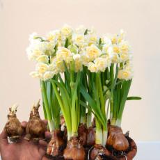 BELLFARM Daffodil Bulbs Narcissus Aquatic Plants Double Flowers Light Fragrant