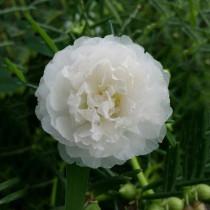 BELLFARM Portulaca oleracea Purslane Double Flowers Seeds, 500 Seeds/pack, Professional Pack, Heirloom verdolaga Pursley