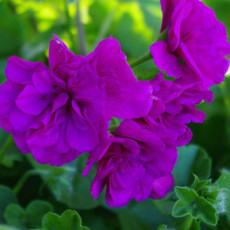 BELLFARM Ivy Geranium 'Vagabond' Seeds, 10 Seeds / Pack, Pelargonium Peltatum Double Purple Petals Bonsai Flowers