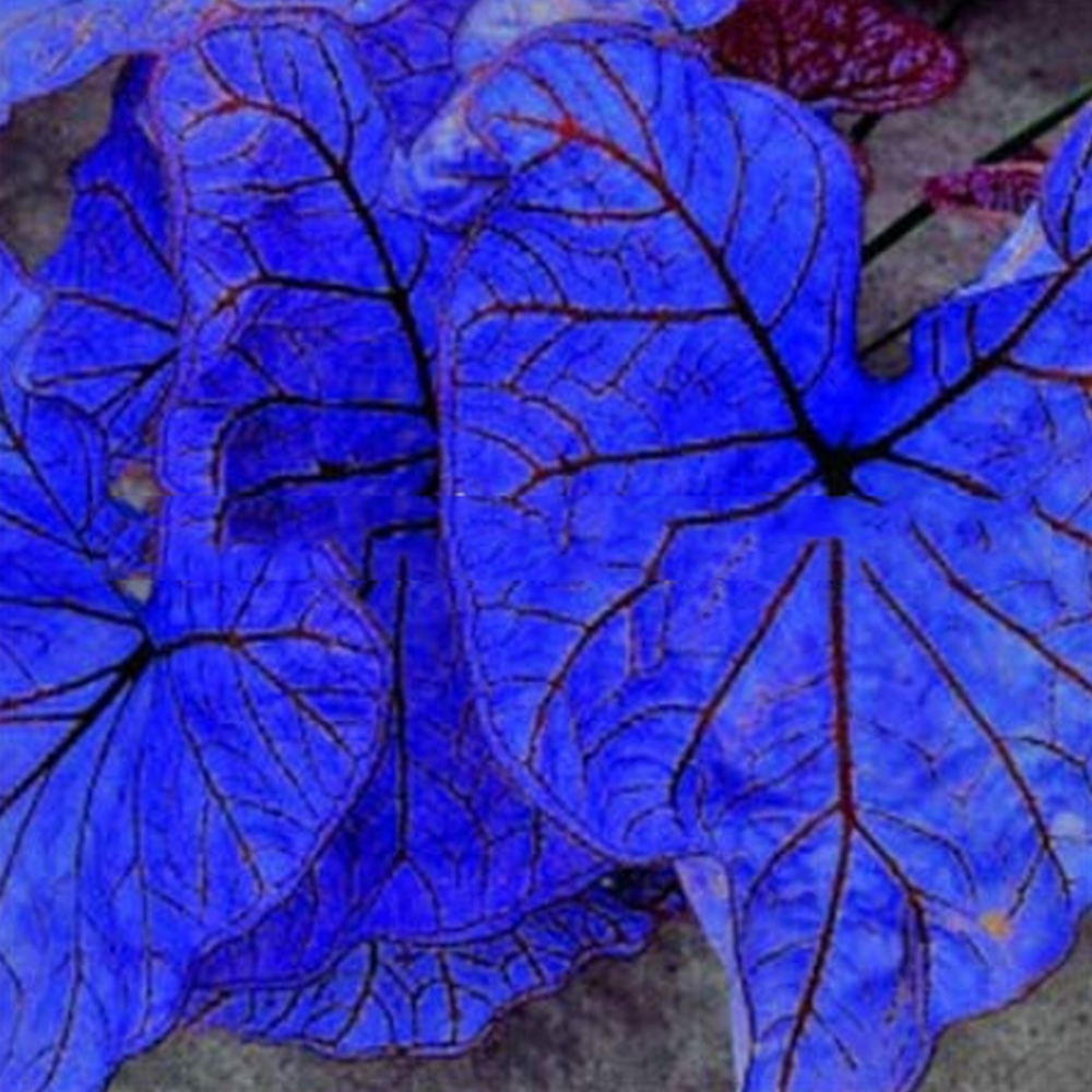 Blue Caladium Dwarf Elephant Ear Ornamental Plant Seeds 200 Seeds