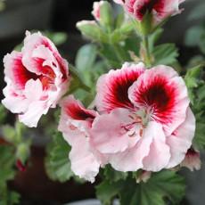 BELLFARM Bi-Colored Red White Univalve Geranium Seeds, 20PCS/Pack, Garden Pelargonium Peltatum Plant