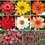 100 pcs Park Seed Profusion Single-Flowered Zinnia Seed Collection