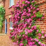 rare Exotic 200 Pcs Lover Multi-Color Climbing Rose Plants,Rainbow Roses Bonsai Flowers Plants Perennial Garden Jardim Plant