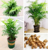 Rare Chrysalidocarpus Lutescens Seeds 5 Pcs/Bag Areca Palm Bonsai Seeds Indoor Butterfly Palm Seeds DIY Home Garden Plants