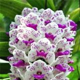 Orchid Seeds 100 pcs