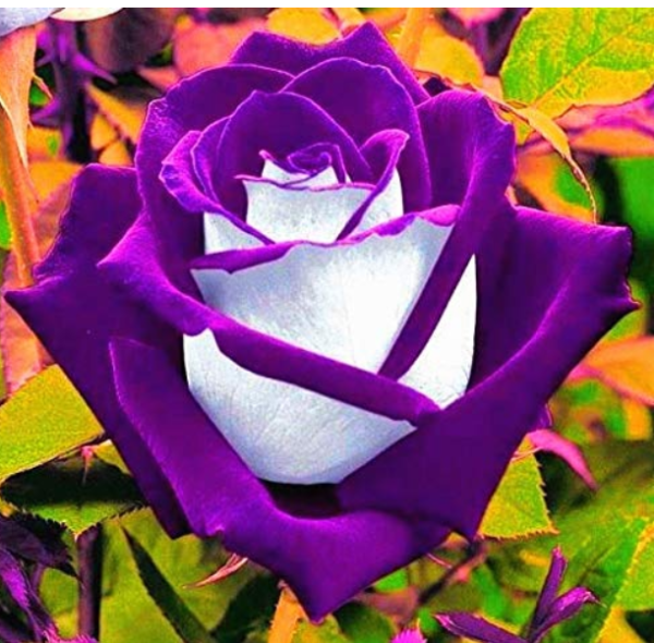 Rose Bonsai Purple Rose with White Red Edge Bonsai Flower Bonsai Beautiful Rose Petals Plant Pot for Home Garden 100 Pcs/Bag