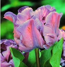 1 PCS Mixed Embossed Gray + Pink Parrot Tulip Bulb Flowers Petals Plant of high-end