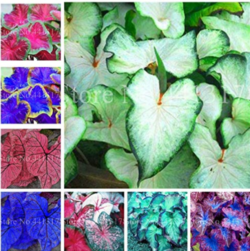 Us 1 99 100pcs Hot Sale Thailand Caladium Bicolor Seed Balcony