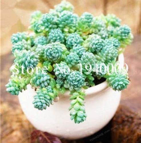 Us 1 99 200 Pcs Bag Sedum Dasyphyllum Bonsai Succulents Plants Bonsai Flower Bonsai Variety Complete Potted Interesting Plants M Deargogo Com
