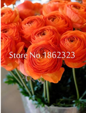 100 pcs Rouge Ranunculus Flower Bonsai Seeds, Indoor Bonsai Plant, Home DIY Persian Buttercup Potted Plant, Flower Bulbs