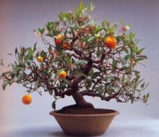 Bonsai Plant Dwarf Standing Calamondin Citrus Orange Tree Indoor Plant in Pot Garden Decoration Plant 30pcs