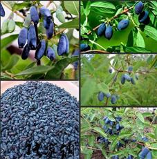 200Pcs/Pack Lonicera Caerulea Fruit Seeds Home Garden Plants Honeyberry Blueberry Seeds