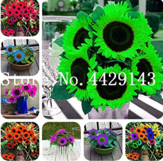50 Pcs Mini Sunflower Seed Flower, Rare Color Sunflower Flower, Indoor Seed Flower Plant for Home Garden Ornamental Plants - (Color: Mixed)
