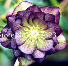 100 pcs/Bag Unique Mixed Colors Japanese Bonsai Potted,Helleborus Flower Plants,Easy to Grow,Plant for Decorate Garden