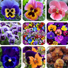 200Pc Mexican Imported Pansy Bonsai Mix Color Wavy Viola Tricolor Flower Bonsai Potted Home Garden - (Color: Mix)