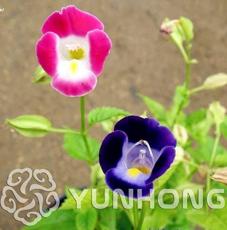 100 Pcs/Bag Torenia Fournieri Bonsai Amazing Flower Bonsai DIY Potted Plants Indoor Outdoor Pot Bonsai Germination Rate of 95%