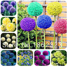 100 Pcs Rare Color Giant Allium Giganteum Beautiful Flower Seed Garden Plant Perennial Flower Bonsai,Germination Rate of 95% - (Color: Mixed)
