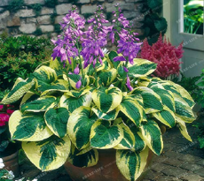 100pcs Hosta Bonsai Perennials Plantain Lily Flower White Lace Home Garden Ground Cover Plant Home Garden Ground Cover Plant - (Color: Mix)
