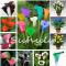 100 Pcs Calla Lily Bonsai Room Flowers Zantedeschia Aethiopica Bonsai Houseplants Home Garden Pot Plant The Budding Rate 97% - (Color: Mixed)