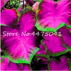 150 Pcs Multiple Colour Thailand Caladium Bonsai of Perennial Rainbow Flower Garden Potted Plant Caladium DIY Home Garden Plant