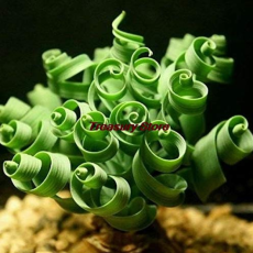 200 Pcs Spring Grass Plant Succulents Plant Grass DIY Seed Potted Garden Home Exotic Plant Spiral Grass Ornamental Seed