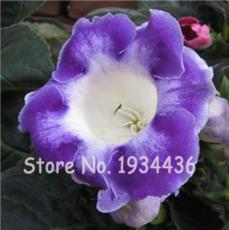 Imported Gloxinia Plant 200 Pcs Perennial Sinningia Gloxinia Home Garden Pot Easy to Grow Rare Bonsai Flower Potted