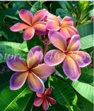 100 Pcs/Bag Plumeria Bonsai, Frangipani, Hawaiian Lei Flower, Rare Exotic Egg Flower Perfect Colors DIY Home Garden Pot