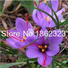200 Pcs Imported Saffron Flower Plants Not Saffron Bulbs, Bonsai Flower Iran Crocus Potted Plants for Home Garden Herb Flore