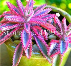 Rare Purple Bromeliad Tillandsia Bulbosa Air Plant Very Easy Growing Lazy Plants Bonsai for Home Garden 50 Pcs