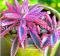 Rare Purple Bromeliad Tillandsia Bulbosa Air Plant Very Easy Growing Lazy Plants Bonsai for Home Garden 50 Pcs