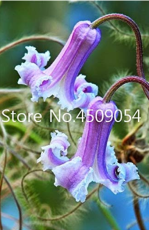 100 pcs Exotic Clematis Bonsai Flower Blooming Clematis Vines Plant Indoor & Outdoor Pot Seedsplants for Home Garden Decoration