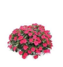 Balsam Flower Bonsai Impatiens Balsamina Bonsai Flower, Toutch-Me-Not Flower for Home Garden Plants 100 Bonsai/Bag