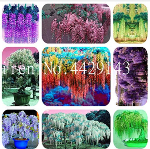 Us 1 99 10 Pcs Bag Wisteria Flower Rare Bonsai Wisteria Tree Bonsai Indoor Plants Flower Bonsai Home Garden Rare Tree Rhizome Color Mixed M Deargogo Com