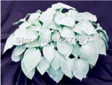 200 PCS Hosta Plants Perennials Plantain Flower Bonsai Rare Lily Flower White Lace Home Pot Garden Ground Cover Plant