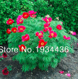 Peony Double Flowering Fernleaf Peony Rubra Plena Garden Plant for Flower Pot Planters Easy to Grow- 10 pcs/lot
