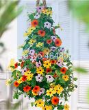 100 Pcs Climbing Flowers Black-Eyed Susan Bonsai Thunbergia Alata Flower Bonsai Black Eyed Susan Vine Gorgeous Sunrise Plant - (Color: Mixed)