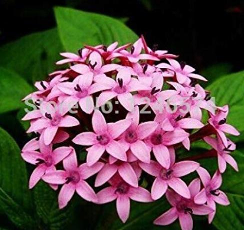 Pentas Lanceolata Flower Bonsai 50PCS Starry Flowers Bonsai Purify Indoor Outdoor Bonsai Air Mixing Colors Plant