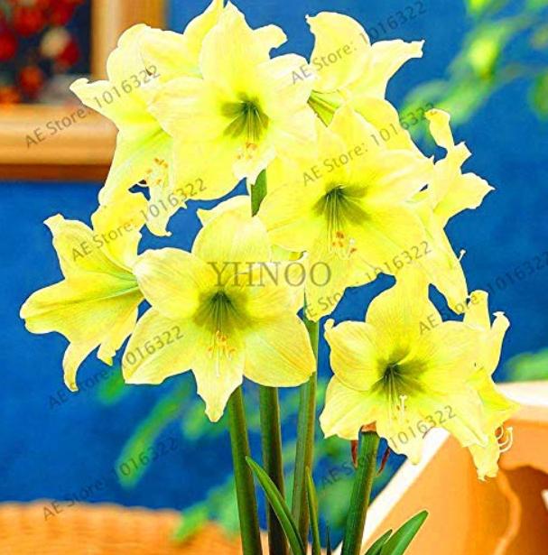 Super Big Bulb True Amaryllis Bulbs,hippeastrum Flowers Bulbs Rare Bonsai Plants Barbados Lily Potted Home Garden pl - (Color: Mix)