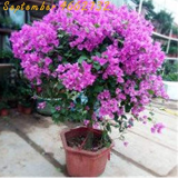 100 Pcs Bonsai Lilac Bonsai Japanese Lilac (Extremely Fragrant) Clove Flower Bonsai Lilac Trees Outdoor Plant The Lilacs Bonsai