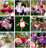 Purple Double Petals Fuchsia Bonsai Potted Flower Bonsai Potted Plants Hanging Fuchsia Flowers 100 Pcs/Bag - (Color: Mix)