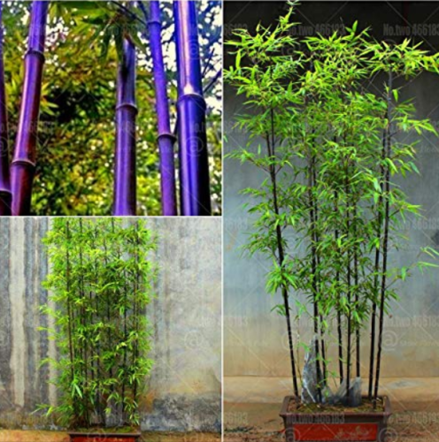 Us 2 19 40pcs Bonsai Purple Bamboo Bonsai Plants Rare