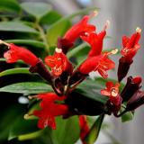 Rare Flower Lipstick Flower Garden Plants Bonsai Plants Potted 100 Pieces/Lot