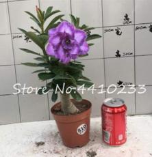 5 Pcs/Bag Multicolor Desert Rose Bonsai Garden Home Pot Balcony Flower Adenium Obesum Succulent Bonsai Flower Pots Plant