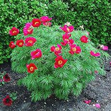 10 Pcs Paeonia Tenuifolia Bonsai Fernleaf Peony Bonsai Peony Flower Double Flowering Fernleaf Peony Rubra Plena Garden