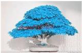 20pcs/bag bonsai blue maple tree seeds Bonsai tree seeds. rare japanese sky blue maple seed. Balcony plants for home garden -- Arcis New