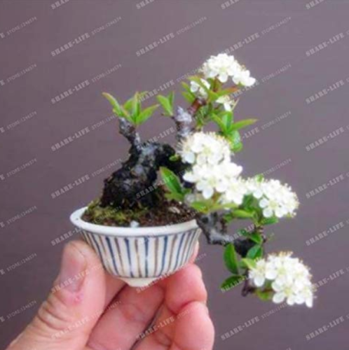 Us 1 99 10pcs Bonsai Tree Japanese Sakura Bonsai Rare Japanese Cherry Blossoms Flowers Bonsai In Diy Home Garden Mini Bonsai M Deargogo Com