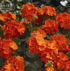 New Geranium Maverick Orange Perennial Flower 10+ Seeds