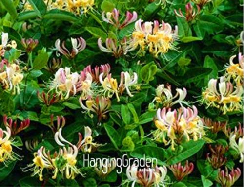 Us 1 99 100 Pcs Pack Honeysuckle Vine Plant Naturally Grown Rare Flower Flores Bonsai For Home Garden M Deargogo Com