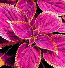 100pcs Purple Coleus Blumei Pink Edge Beautiful Natural Flowers Rare Perennial Fragrant Plants Japanese Flower Bonsai